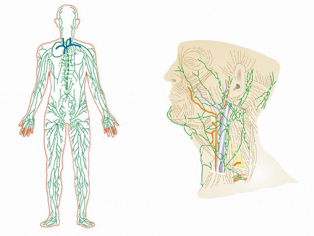身体中を巡る、リンパの流れ