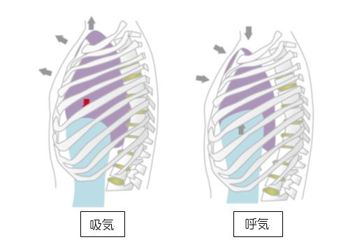 呼吸の仕組みの理解